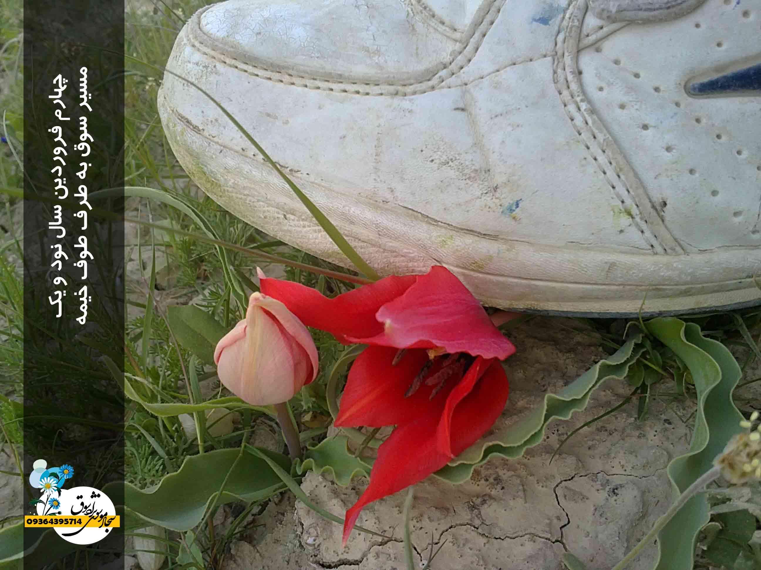 گل سرخ ، طوف خیمه ، سوق ، 1391